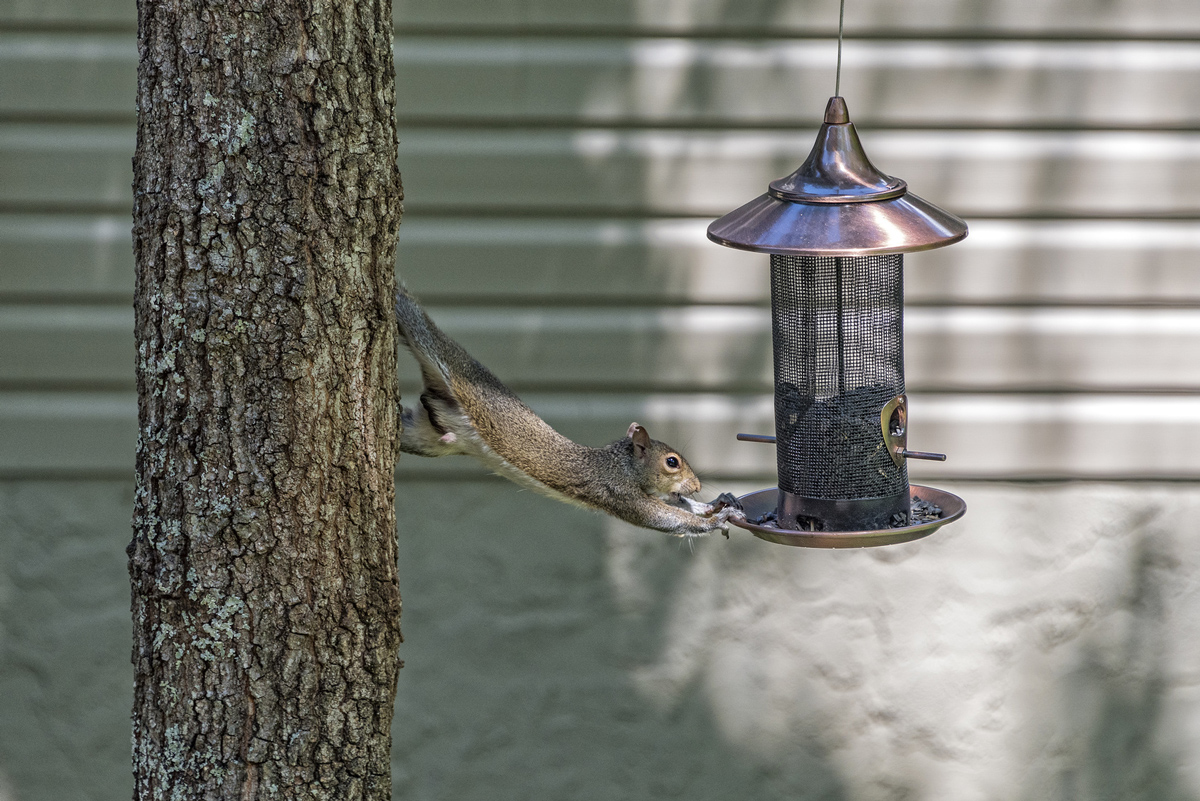 Awe Inspiring Tricks To Keep Squirrels Away From Your Home Varmint Gone Beutiful Home Inspiration Ommitmahrainfo