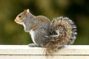 How Much Does Squirrel Removal Cost?